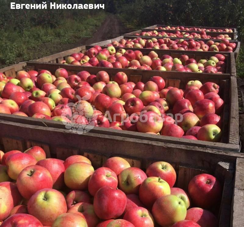 база оптом продажа яблок в тульской обл